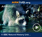ARKive video - Northern raccoon hunting crayfish in stream