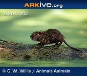 ARKive photo - Infant coypu on log