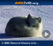 ARKive video - Arctic fox - overview