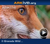 ARKive video - Red fox - overview