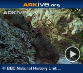 ARKive video - Long-tailed chinchilla - overview