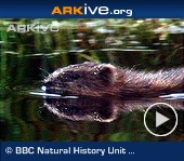 ARKive video - Muskrat - overview